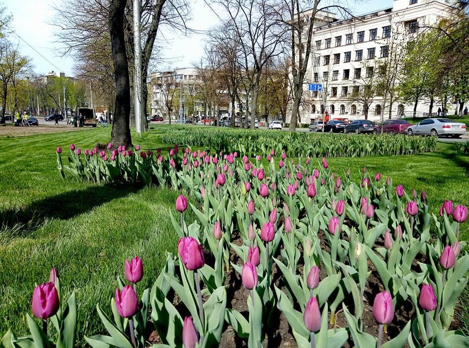 У Харкові вперше за багато років висадили тюльпани