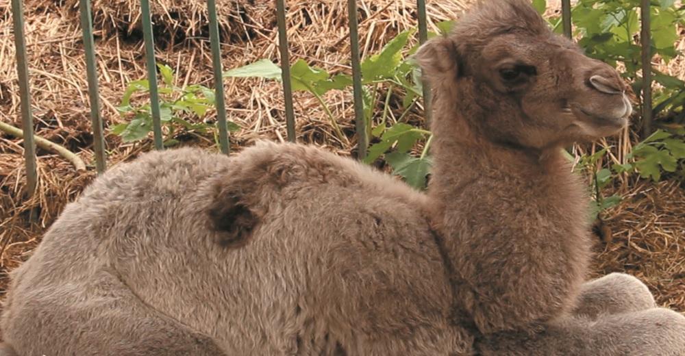 Харків'яни можуть запропонувати ім'я новонародженому верблюденяті