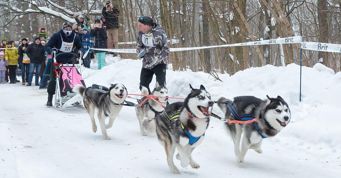 Харків'ян запрошують у Пісочин на перегони на їздових собаках