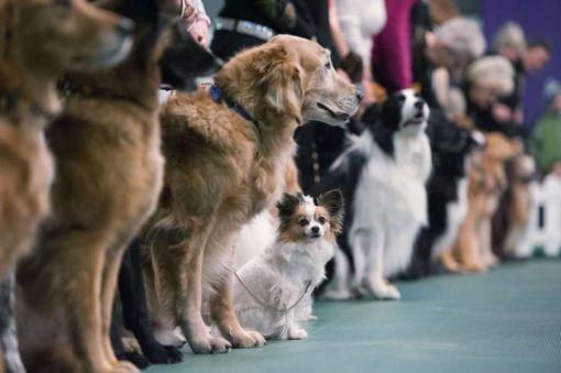 У Харкові пройде міжнародна виставка собак